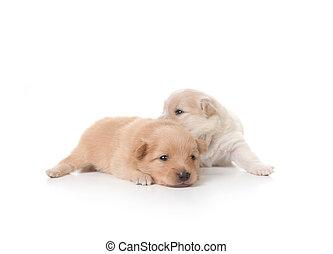 Tan and White Colored Pomeranian Newborn Puppies