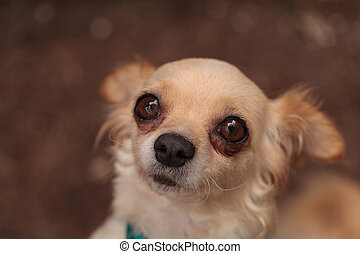 Tan cream colored Chihuahua puppy dog with big eyes looks...