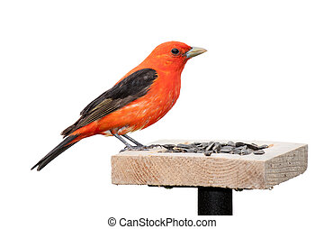A scarlet tanager sits on top of a sunflower seed feeder. The tanager's brilliant red plumage contrasts against its midnight black wings. The songbird is positioned with its head toward the seed. White background.