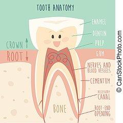 tand, anatomi, morsom, tand, begreb, i, sunde tænder,...