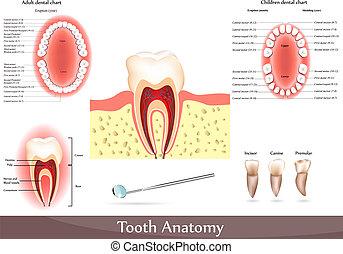 tand, anatomie