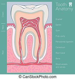 tand, medicinsk, anatomi, hos, gloser