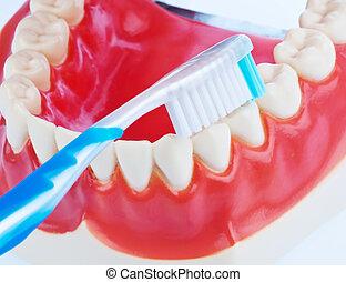 tand, model, met, een, tandenborstel, wanneer, borstelende...