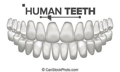 tand, mund, anatomi, vector., menneske, teeth., sunde, hvid,...
