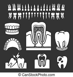 tand, vektor, anatomy., mänsklig, illustration.