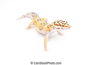 tangerine leopard gecko  a healthy adult female tangerine