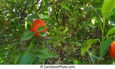 Tangerine hand pick of ripe fruits shot clip