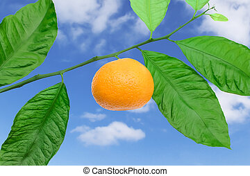 Tangerine on a branch against the sky