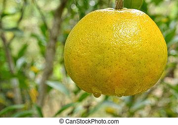 Tangerine on tree