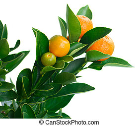 Tangerine tree branch close up  isolated on white background