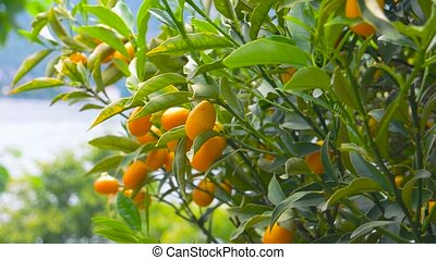 Tangerine tree close up. Ripe citrus fruits on branches....