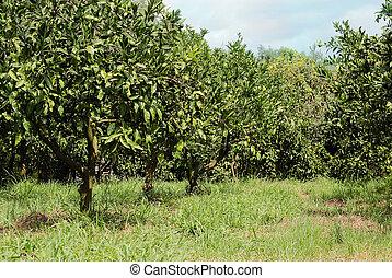 Tangerine tree - green tangerine grove