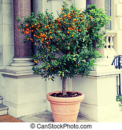 Tangerine tree in the pot on beautiful mansion background, Nice, Cote d'Azur, France. Square toned image, instagram effect