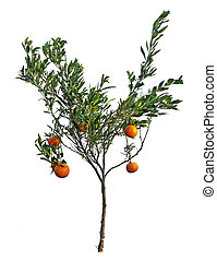 tangerine tree on white background