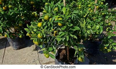 Tangerine Trees in Pots on Street Market on Sunny Morning -...