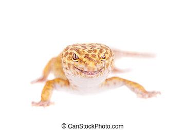 Leopard Gecko on a white background - Tangerine Tremper ...