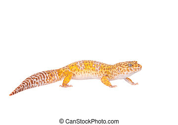 Leopard Gecko on a white background - Tangerine Tremper...