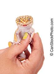 Leopard Gecko on a white background - Tangerine Tremper...