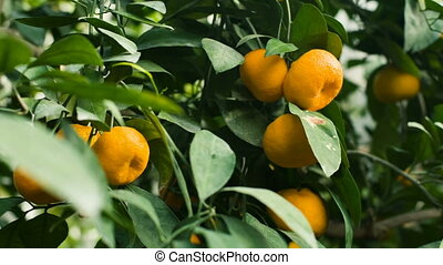 Tangerines on a tree - Ripe tangerines on a tree at garden