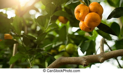 Tangerines on branch - Ripe tangerines on a tree at garden
