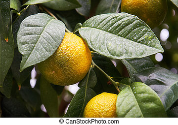 Tangerines on the branch with leaves