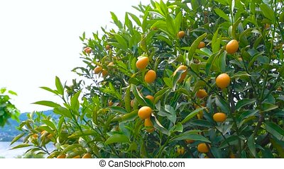 Tangerines on the tree. Green leaves and ripe fruits. Citrus...