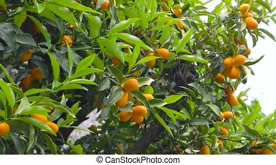 Tangerines on tree branches. Ripe citrus fruits.