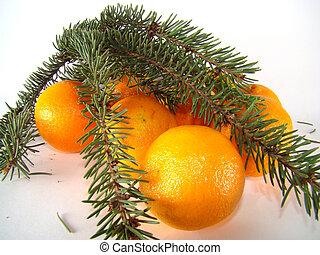 Tangerines under pine branch