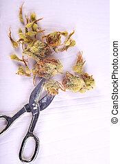 tangie, macro, (sour, strain), detalhe, isolado, cannabis, calyxes, branca