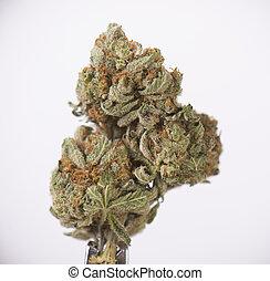 tangie, (sour, strain), isolé, cannabis, séché, blanc, sur, bourgeon