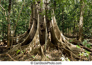 tangkoko, buttressed, 公園, 木, 大きい, 定着する