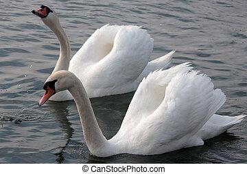 taniec, swans., miłość, dwa