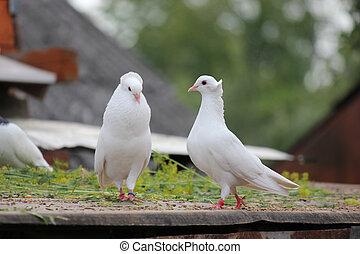 taniec, zaloty, biały, gołębice