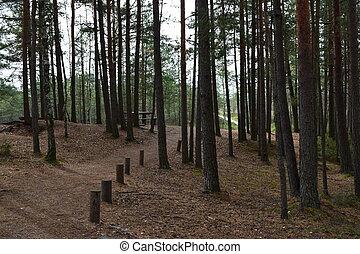tanne, zapfentragend, lit, altes , dunstig, gesunde, ökosystem, wald, bäume, herbstlich, fichten, pines., umwelt, tragbar, sunlight., lettland, kiefer, wild, concepts., sonnenaufgang, wald