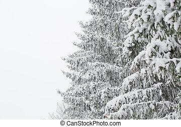 tannenzweig, auf, schnee