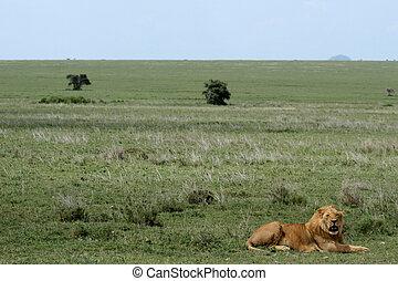 tansania, -, afrikas, löwe, serengeti, safari