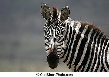 tansania, -, afrikas, serengeti, zebra, safari