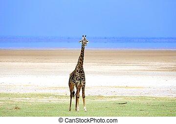 tansania, giraffe, park, national