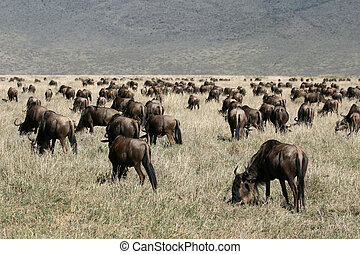 tansania, ngorongoro, wildebeest, -, krater, afrikas