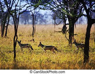 tansania, serengeti, afrikas, savanna., safari, schakale