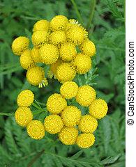 tansy, común, (tanacetum, vulgare)