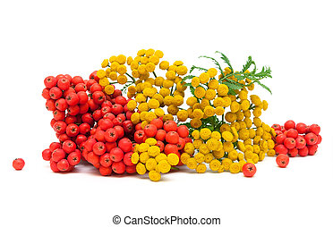 Tansy flowers and berries red mountain ash isolated on a ...