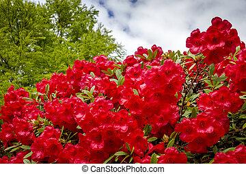 tanya, rododendron, különféle, bitófák, virágzó