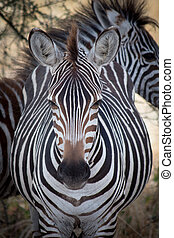 tanzânia, lente, câmera, zebra, diretamente, olha