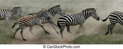 tanzania, áfrica, -, corriente, serengeti, zebra, safari