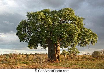 tanzania, árbol, nacional, baobab, -, tarangire, park., ...