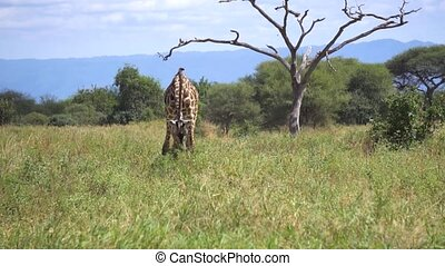 Tanzania, African Safari. The Giraffe Eating Grass in Savanah, Slow Motion