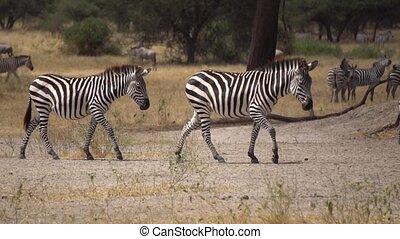 Tanzania, African Safari. Zebras in Savanna, Slow Motion. Wild Animals In Natural Environment