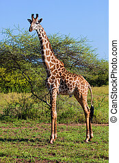 tanzania, serengeti, afryka, savanna., żyrafa, safari