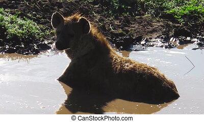 Tanzanian Spotted Hyena in Ndutu - Spotted Hyena in a...